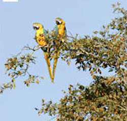 Extermination Of Other Mega Fauna Leaves Parrots As Prime Amazon Seed Dispersers