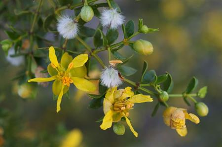 New Drug Promise: Common Desert Shrub Produces Powerful Anti-Parasite Chemicals
