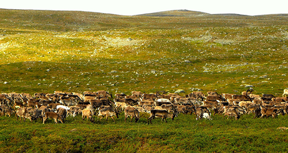 Tundra Animals Help Off -Set Climate Change Impact On Plant Species