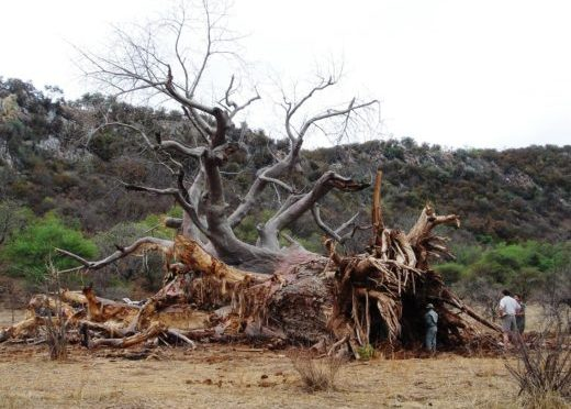 Toppled Baobabs Reveal History's Secrets And Predict Climate Change Effects