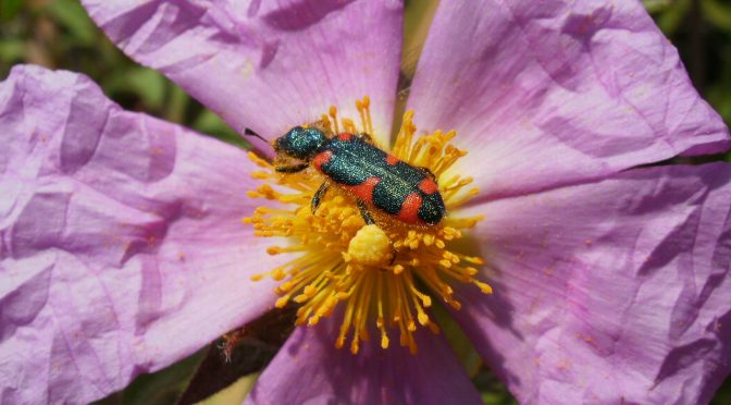 Flower Color And Fragrance Send Coordinated Message To Island Pollinators