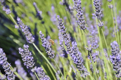 Researcher Looking To Lavender To Reveal Its Pest Defenses