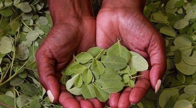 The Amazing Moringa Tree: Medicine, Food, Fertilizer. What Can't It Do?