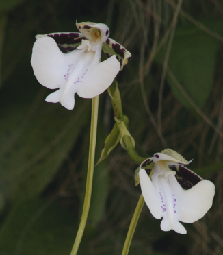 Newly Discovered Orchid Smells Like Champagne