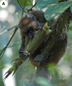 Lemurs Dependent On Bamboo Risk Climate Caused Extinction