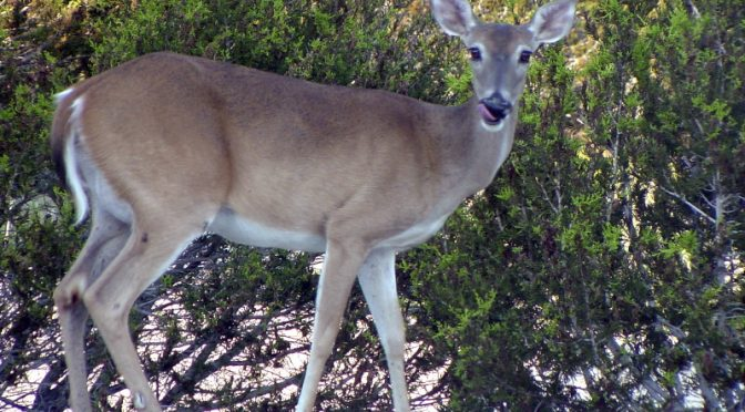Deer Alter Forest By Avoiding Bad-Tasting Invasive Plants