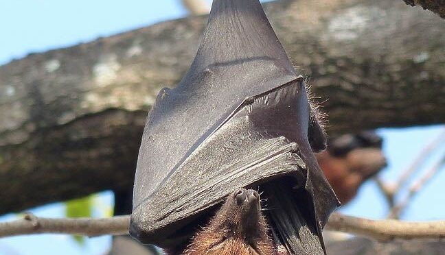 Endangered Flying Fox Bats Important For Durian Industry