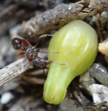 New Seed Dispersal Strategy In non-photosynthetic Plants Discovered: Crickets Ingesting Seeds