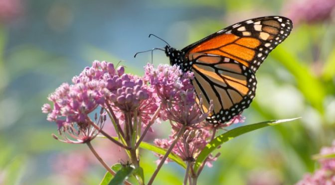 To Monarch Butterflies, My Milkweed Patch May Be More Attractive Than Yours