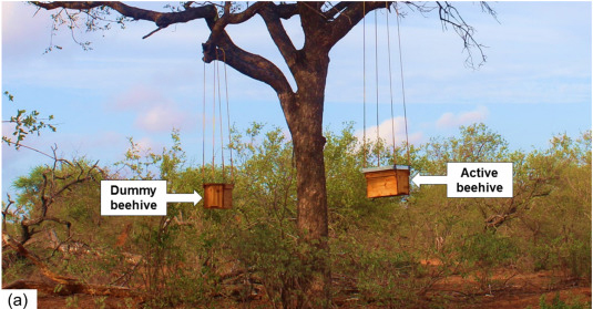 African Savanna Trees Protected From Elephant Damage By Beehives