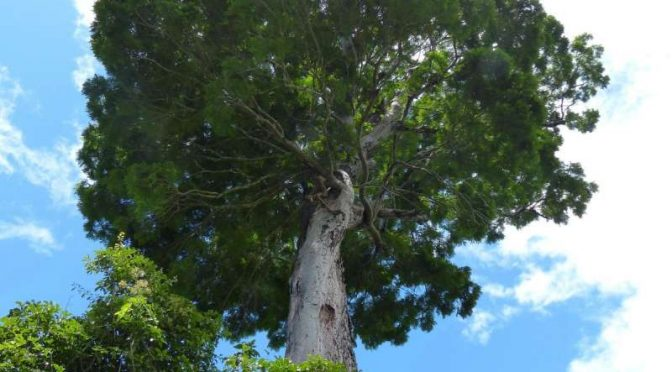 Weighty Discovery: Newly Discovered Brazilian Tree Species May Be World's Heaviest Organism
