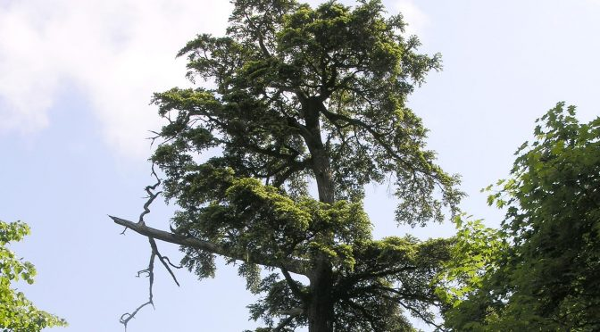 Newly Discovered Rare And Endangered Tree May Be Savior Of Its Insect Imperiled Cousins