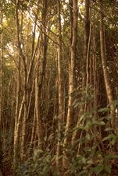 Case Study: Introduced Tree Species Devastating A Tropical Biological Hotspot