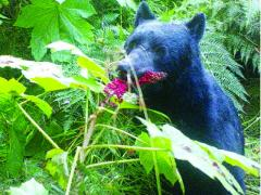 Move Over Birds, In Pacific Northwest Bears Are Primary Seed Dispersers