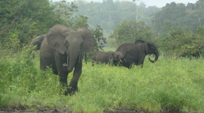 96 percent Of Central African Forests At Risk If Elephant Poaching Continues