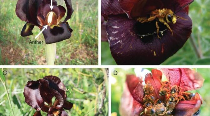 When Honey Bees Are Bad For Pollination And Bad For Other Bee Species
